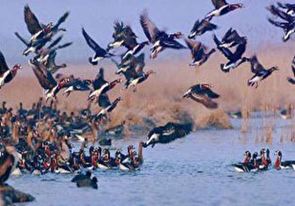 کاهش شکار پرندگان در مازندران