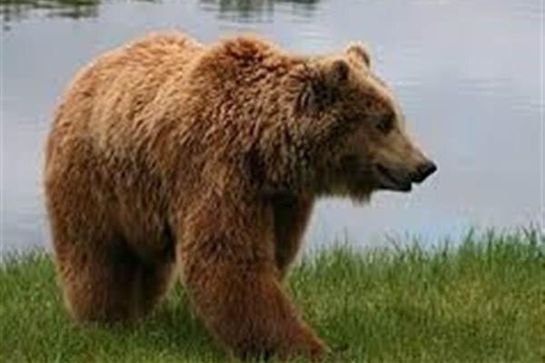 تکذیب حمله خرس به روستایی در فومن