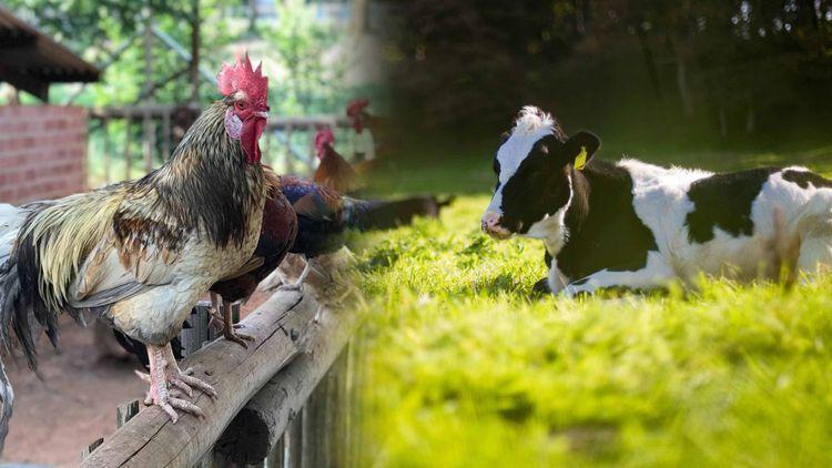 آیا گاو، مرغ و حیوانات دیگر هم به کرونا مبتلا می شوند؟