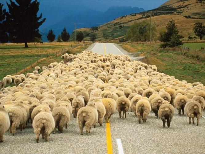 تصویب قانون نحوه برخورد با گوسفندان در دولت عمان