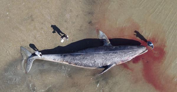 دانشمندان: نهنگ های خاکستری از گرسنگی در حال مرگ هستند