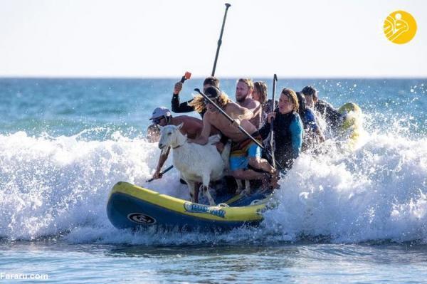 (تصاویر) موج سواری با بُزها!