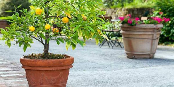 آموزش کاشت لیمو در گلدان